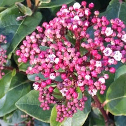 Viburnum tinus 'Lisarose'